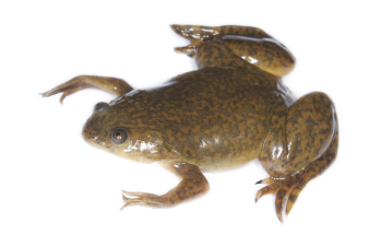 African-Clawed-Frog.png